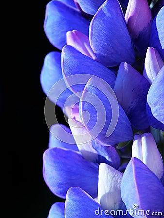 Blue lupin