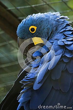 Free Blue Macaw In A Brazilian Park - Arara Azul Stock Photography - 98195842