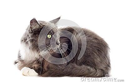 Blue maine coon cat