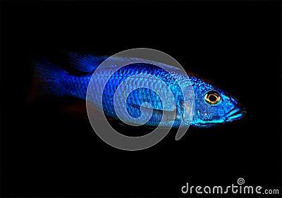 Blue malawi cichlid
