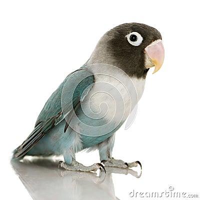 Blue Masked Lovebird - Agapornis personata