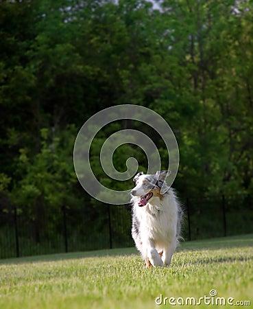 Blue Merle Australian Shepherd Trots