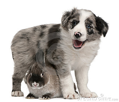 Blue Merle Border Collie puppy and a rabbit