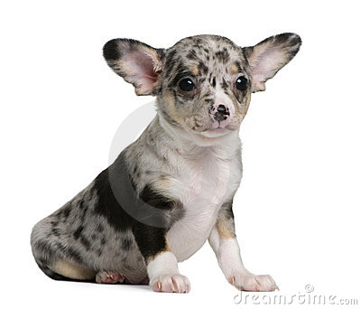 Blue merle Chihuahua Puppy, 8 weeks old
