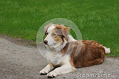 Blue Merle Sheep Dog