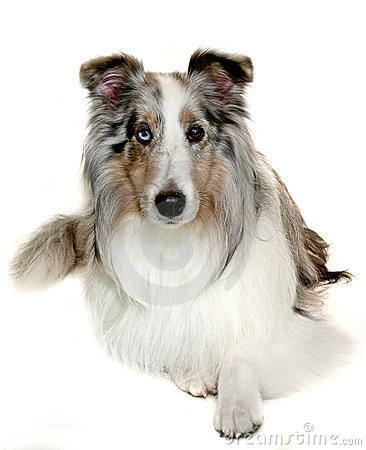 More similar stock images of blue merle sheltie