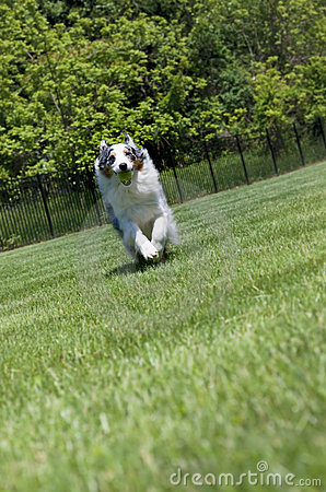Blue Merle Tri-color Australian Shepherd Running Stock Photos - Image ...