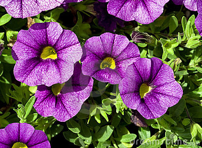Blue Miniature Trailing Petunia