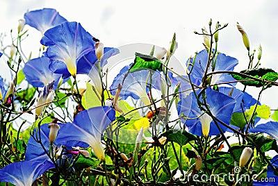 Blue Morning Glory Flower