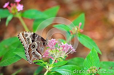 Blue Morpho butterfly on flowers