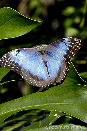 Free Blue Morpho Butterfly (Morpho Peleides) Stock Photos - 37866003