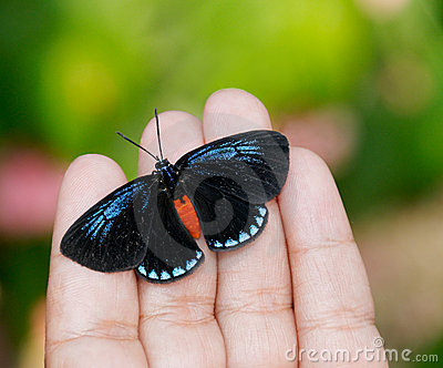 Blue Morpho on Fingers