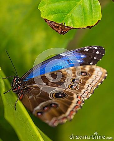 Free Blue Morpho (morpho Peleides) On Green Nature Background. Royalty Free Stock Photo - 70770265