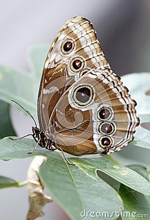 Free Blue Morpho Peleides Butterfly (underside Colors) Stock Image - 14509211