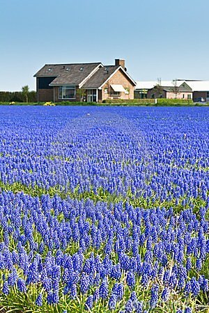 Blue Muscari field in Holland