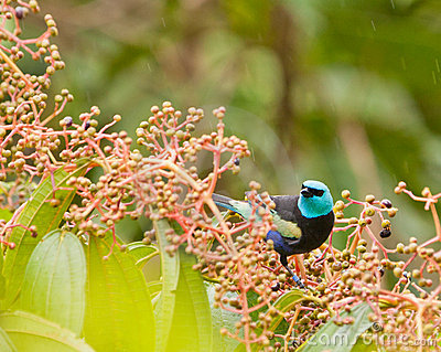 A Blue-necked Tanager with fruits