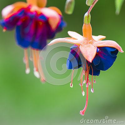 Free Blue Orange Flower Stock Photo - 75261300