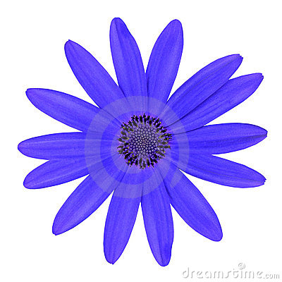 Blue Osteosperumum Daisy Flower Isolated on White