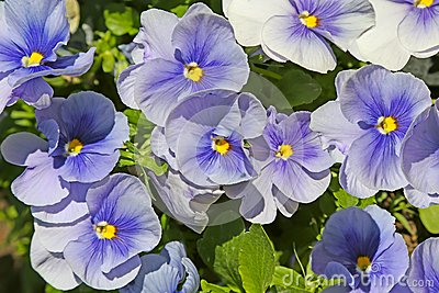 Blue pansies (viola)