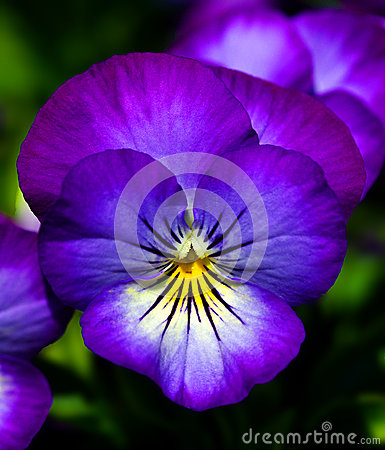 Free Blue Pansy Stock Photography - 31364442