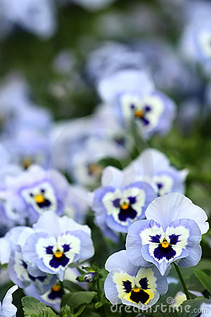 Free Blue Pansy Flowers Stock Photo - 22404280