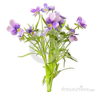 Free Blue Pansy Flowers Royalty Free Stock Images - 34402279