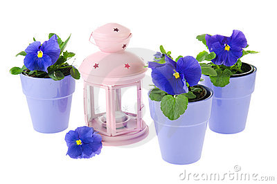 Blue pansy plants with pink lantern