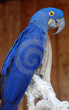 Free Blue Parrot Stock Photography - 12201522