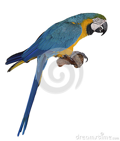 Free Blue Parrot Stock Images - 29997604