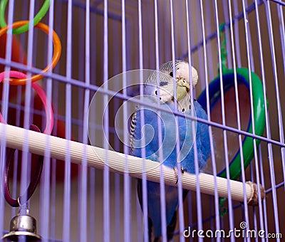 Blue parrot in birdcage