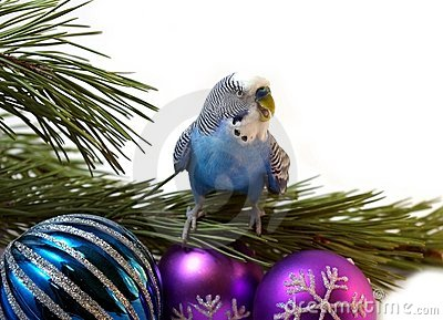 The Blue parrot on fir tree, Christmas.