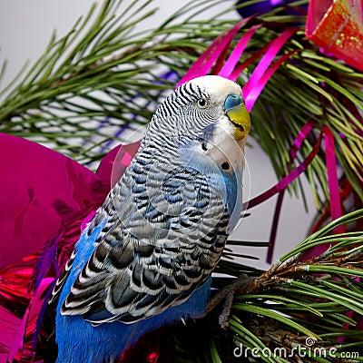 Blue parrot on fir tree, Christmas.