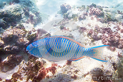 Blue parrot fish in the water of Andaman Sea
