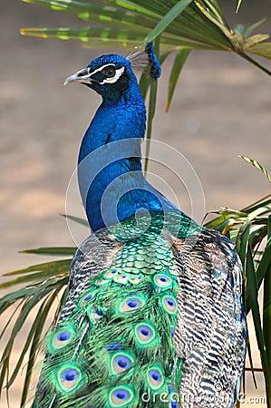 A blue peacock