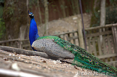 Blue peacock on a roof