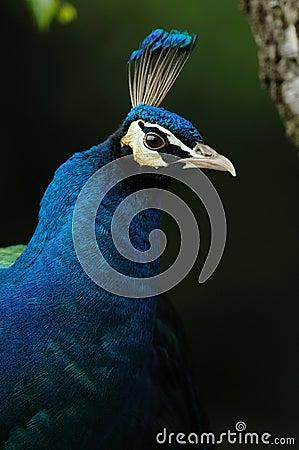 Blue Peafowl (Pavo cristatus)