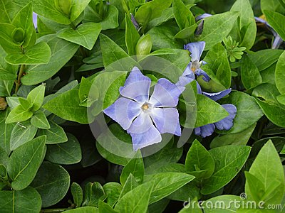 The Blue Periwinkle