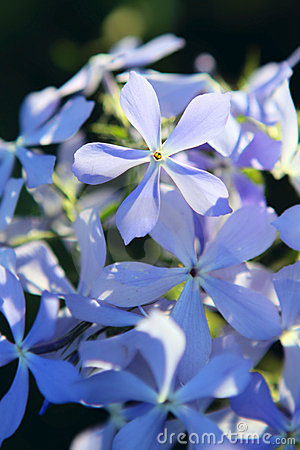 Blue Phlox flowers