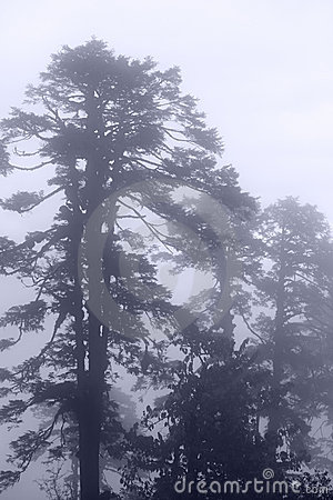 Blue pine tree