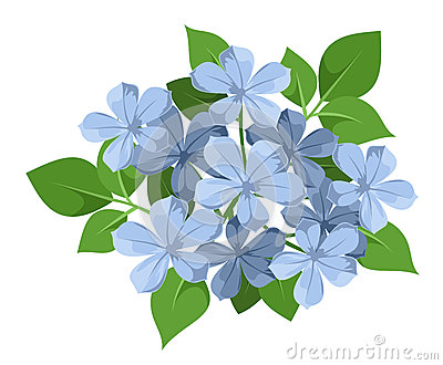 Blue plumbago flowers.