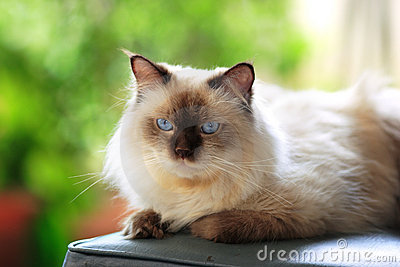 Blue point Himalayan cat outdoor