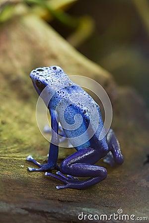 Free Blue Poison Arrow Frog - Blue Poison Dart Frog - Dendrobates Azu Stock Image - 1130051