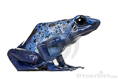 Blue Poison Dart frog against white background
