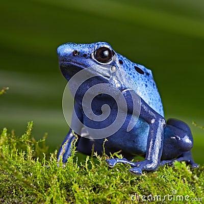 Blue poison dart frog exotic pet amphibian