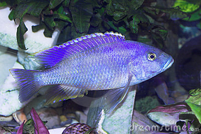 Blue predator fish