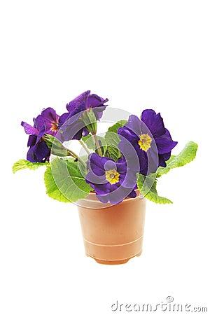 Blue primula flowers