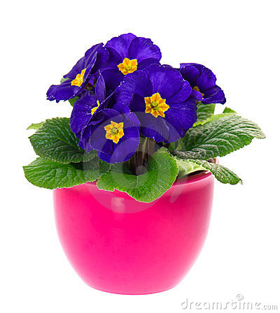 Blue primulas in pink pot on white