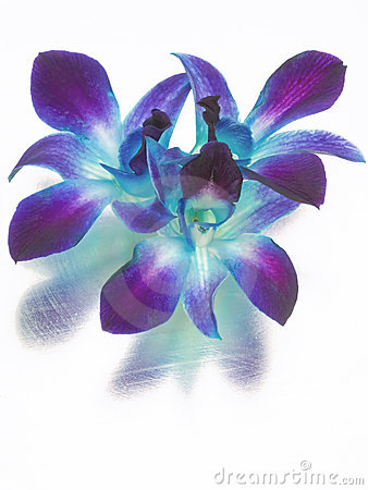 blue and purple orchids royalty free stock images image