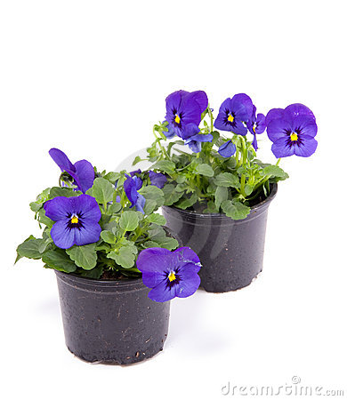 Blue purple pansy