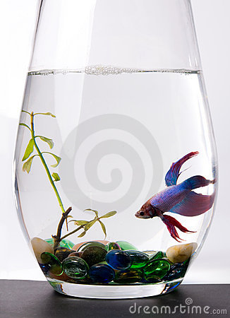 Blue/purple Siamese Fighting Fish - Betta Splenden